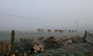 Herd of cows in the fog.